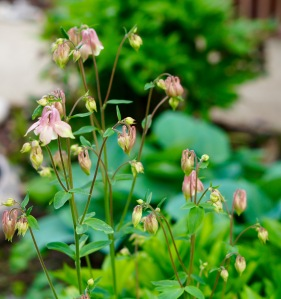 Here's another view of the clump of columbine.