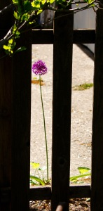 This charming and solitary allium popped up just over the fence from my lower garden.