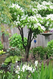 Here is another view of Kousa.  In the foreground are white snapdragons that self-seeded.
