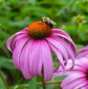 A carpenter bee drinking nectar from a purple coneflower.