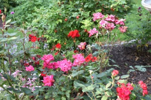 The red Knockout Rose and the red Carpet Rose provided consistent color in the rose medallion.