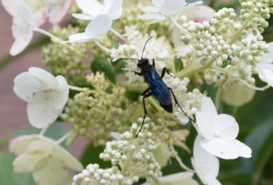 This beautiful wasp may strike fear in some because of its size, but the Great Black Wasp is quite mellow. Because they drink nectar, they are pollinators and visit gardens in mid to late summer.