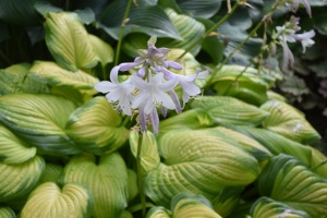 Stained Glass, one of my favorite hostas, is sending out its fragrant blooms. Not all hosta flowers are fragrant, but Stained Glass makes up for those.