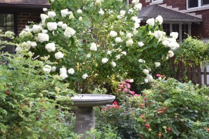 I've been using the rose medallion as a watering spot for various potted plants that I bought early in the summer. That began when I went to a conference and wanted to make sure everything got watered. And there those pots have remained for the rest of the summer.