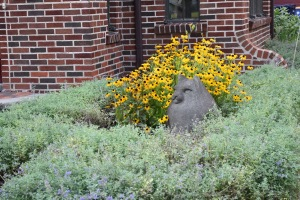 I trimmed Walker's Low catmint a couple of weeks ago in the hopes that it would sent up new blooms. It is starting to do that. In the meantime, I am enjoying the Rudbekia and the blackberry lily.