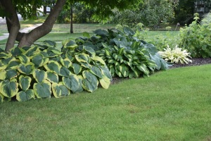 Though nothing is blooming here, the hosta bed under the old magnolia tree always catches my eye. I think I need to think the Frances Williams. The very light hosta on the right is Pineapple Upsidedown Cake. The hosta with the pale stripe in the center is Lakeside Beach Captain.