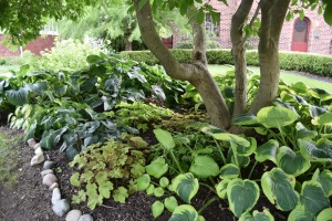 Another view of the magnolia hosta bed. Here you will find Golden Tiara, Guacamole, more Lakeside Beach Captain, Bressingham Blue, and Elegans.