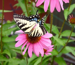Butterflies, too, transport pollen