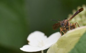This cicada killer wasp landed on my Tardiva hydrangea a few days ago. It is a very large wasp that stings cicadas and lays its eggs in the body. The wasp larvae feed on the cicada.