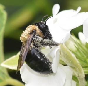 Notice the pollen that has collected on the hairs underneath this carpenter bee's body. This allows for easy transfer of pollen from one bloom to another and makes carpenter bees wonderful pollinators. These particular bee is nuzzling the white phlox in the Secret Garden.
