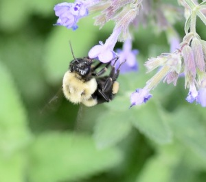 Bumblebees seem to love catmint flowers, at least in my garden. They collect pollen in sacks on their hind legs, but pollen also attaches to the hairs on their body and is transferred to other blooms when they land.