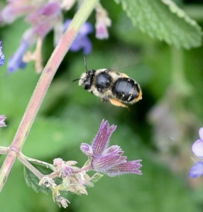 This mason bee was dining on catmint near the cherry tree.