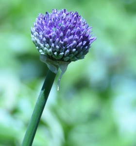 I have fallen in love with allium!