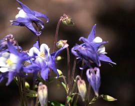 Blue Winky columbine bask in the intermittent sun in the secret garden.