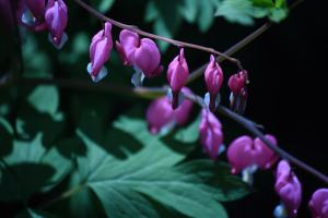 The bleeding heart light up the little nook outside the sunroom and dining room windows.