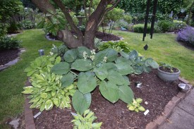 I love the hosta bed under the old cherry tree. Seboldiana Elegans is about to bloom.