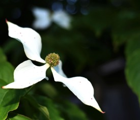 The kousa dogwood is in full bloom. What a gorgeous tree.