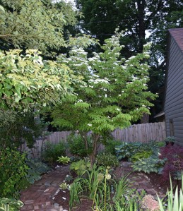 Here is another look at the kousa dogwood.