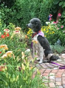 And, then there is Bridget, here looking proud amongst the daylilies in the ecret Garden.  That is Crystal Pinot near her nose and Barbara Mitchell to the left.  Behind her is a purple coneflower that I thought did not survive.  But, there it is.