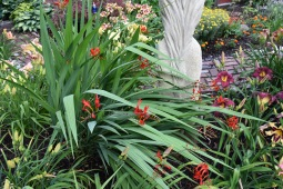 The crocosmia is starting to bloom.  I seriously thinned this patch late last summer to give the day lilies breathing room.